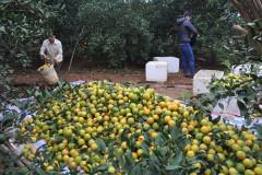 Nhiều người tiêu dùng vẫn mua nhầm cam Cao Phong