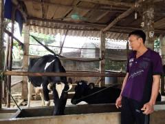 """Giá sữa rẻ (Ba Vì, Hà Nội): Người nuôi bò sữa """"khóc ròng"""""""