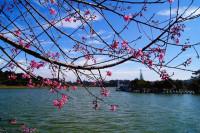 Lần đầu tiên - tổ chức Ngày hội Hoa anh đào Tuyền Lâm - Đà Lạt