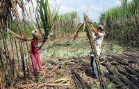 Lượng đường sản xuất trong nước giảm hơn 180.000 tấn