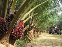 Năm 2017, Indonesia có thể xuất khẩu 27 triệu tấn dầu cọ