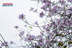 Tháng 2 hoa ban ngập tràn… tím biếc những gương mặt phố