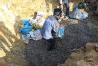 Hoành Bồ - Quảng Ninh: Bắt giữ và tiêu hủy 900kg sò không rõ nguồn gốc