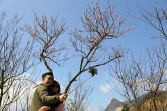 Ngỡ ngàng với vẻ đẹp đa sắc của hoa đào tại Fansipan Legend