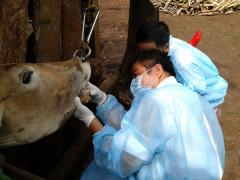 Cục Thú y (Bộ NN&PTNT): Sẽ sản xuất ra vắc xin lở mồm long móng trong năm 2017