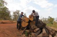 """Đắk Lắk: Phát hiện số lượng lớn gỗ dầu """"vô chủ"""" trong rừng"""