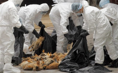 Nam Định: Lập danh sách theo dõi sức khỏe 70 người tại ổ dịch cúm A/H5N1