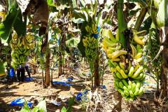 Nông dân lao đao vì thương lái Trung Quốc ngừng mua một số mặt hàng nông sản