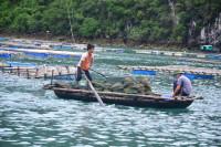 Quảng Ninh: Hàu chết hàng loạt, chưa có hỗ trợ cho các hộ dân