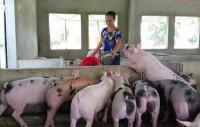 Phát động chương trình chung tay chia sẻ khó khăn với người chăn nuôi lợn