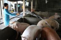 Ngân hàng giãn thời hạn trả nợ đối với các hộ nuôi lợn