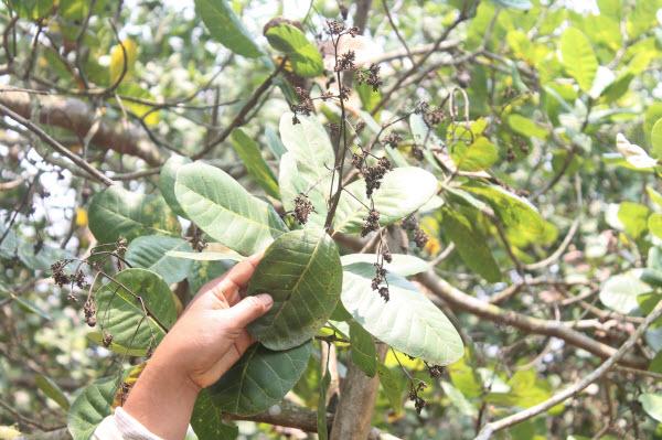 Nông dân mất mùa vì dịch bệnh (Lâm Đồng) - Bài 1: Cây điều cháy trơ cành - Hình 2
