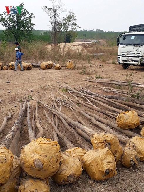 Triệt phá đường dây buôn lậu cây Giáng Hương lớn tại Tây Nguyên - Hình 1