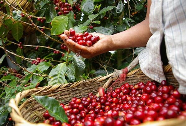 Giá cà phê tiếp tục suy yếu - Hình 1