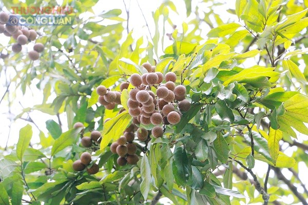 Nhãn lồng Hưng Yên vào mùa bội thu - Hình 4