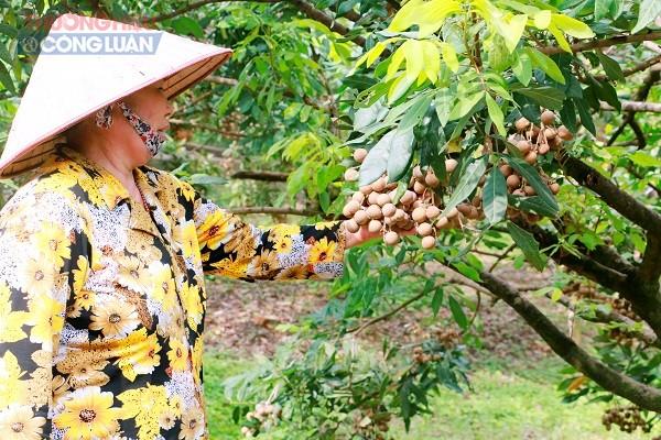 Nhãn lồng Hưng Yên vào mùa bội thu - Hình 5