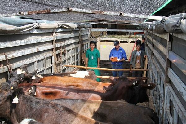 200 cô bò sữa hữu cơ 'cưỡi' máy bay từ Úc về Việt Nam - Hình 5