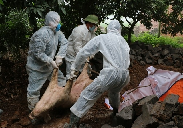 Dịch tả lợn Châu Phi lan rộng, 16.600 con lợn bị tiêu hủy trên 16 tỉnh, thành - Hình 1