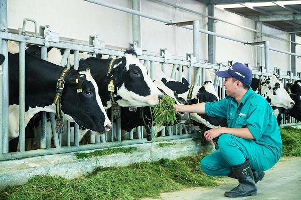 """'Resort"""" bò sữa Vinamilk Tây Ninh: Ngôi nhà lý tưởng của những cô bò hạnh phúc - Hình 6"""