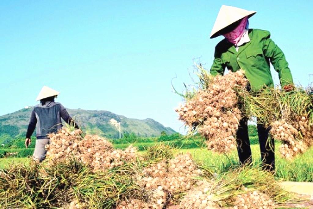 H. Lý Sơn-Quảng Ngãi: Công bố đường dây nóng để bảo vệ thương hiệu tỏi Lý Sơn - Hình 3