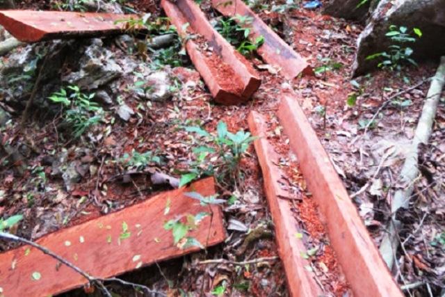 Quảng Bình: Bắt thêm 6 bị can trong vụ phá rừng gỗ mun nghiêm trọng tại VQG Phong Nha – Kẻ Bàng - Hình 1