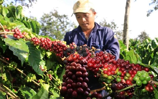 Giá nông sản ngày 30/5: Cà phê tăng gần 1.000 đồng/kg, tiêu đi ngang - Hình 1