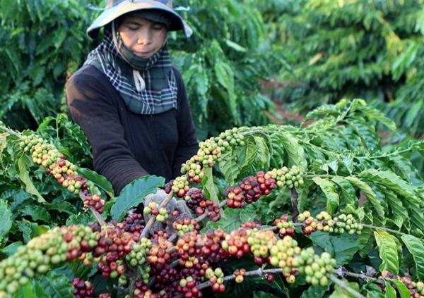 Thị trường nông sản ngày 12/6/2019: Giá cà phê giảm mạnh, tiêu không đổi - Hình 1