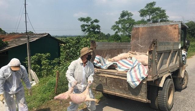 Cả nước đã tiêu hủy gần 3 triệu con lợn bị dịch tả lợn châu Phi - Hình 2