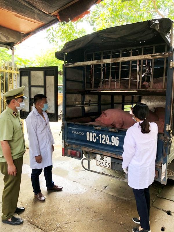 Lạng Sơn: Tạm giữ gần 2 tấn lợn thịt chưa qua kiểm dịch - Hình 1