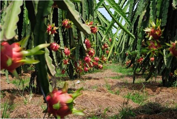 Tiền Giang: Nhiều loại trái cây rớt giá mạnh - Hình 1