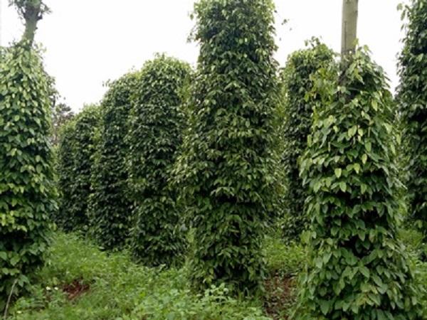 Hồ tiêu sẽ phát triển tốt nếu ngay từ đầu được lựa chọn giống tốt và được trồng theo phương pháp hữu cơ