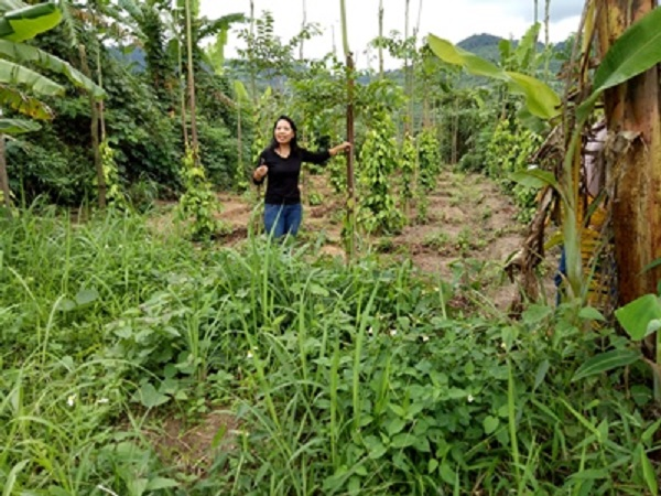 Những cây hồ tiêu đang được trồng mới theo phương pháp hữu cơ tại Tây Nguyên