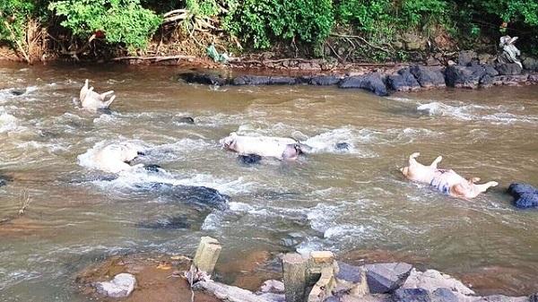 Xác lợn chết bị vứt ra suối ở Đồng Nai (Ảnh: Vĩnh Thủy)