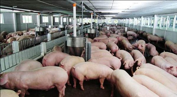 Một số địa phương giá thịt lợn hơi xuất chuồng đã tăng lên 68.000 đồng/kg