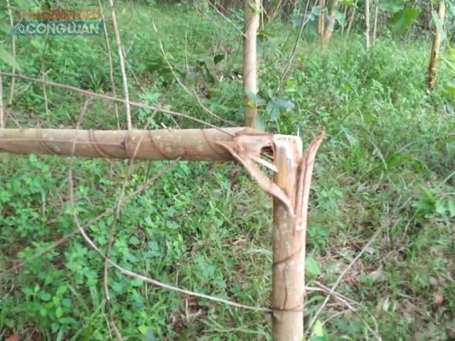 Vườn tràm 3 năm tuổi của gia đình anh Bình bị kẻ xấu đốn hạ trong đêm