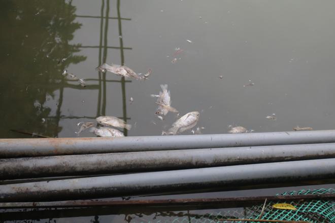 Cá vẫn tiếp tục bị chết trong hồ của một người dân gần suối Khại