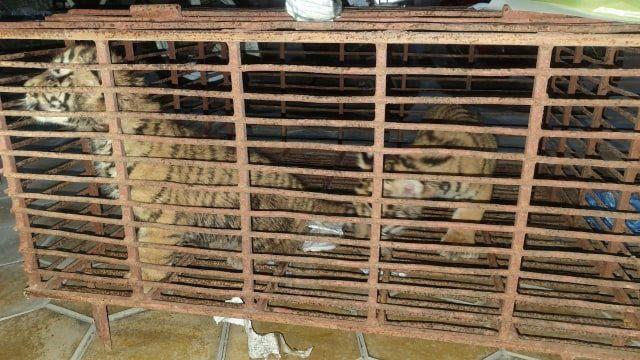 Hai cá thể hổ con được giải cứu khỏi vụ vận chuyển trái phép