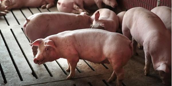 Giá thịt lợn tăng khiến thị trường tiêu dùng Trung Quốc chao đảo (Ảnh: Getty)