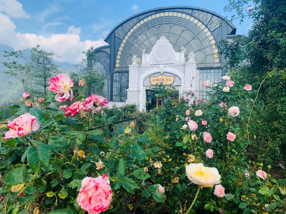 Thung lũng hoa hồng tại khu du lịch Sun World Fansipan Legend đã bắt nầu bung nở chào đón du khách.