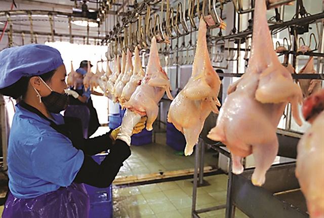 Kiểm tra chất lượng gà thịt tại Công ty cổ phần Thương mại Lan Vinh