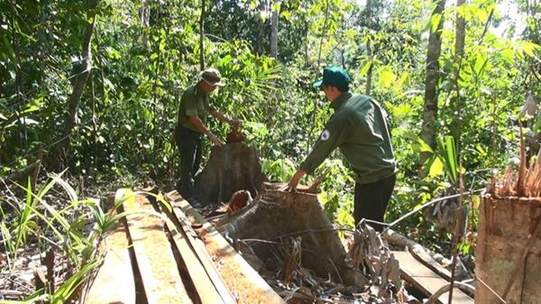 Gốc cây còn lại sau khi lâm tặc đốn hạ lấy gỗ (ẢNH: ĐỨC HUY)