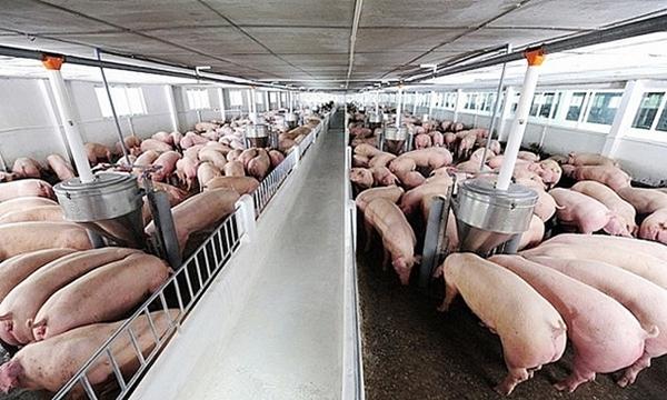 Giá lợn hơi giảm về dưới mức 100.000 đồng/kg