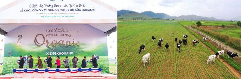 Dự án Tổ hợp trang trại bò sữa được Vinamilk đầu tư tại cao nguyên Xieng Khouang, Lào đã khởi công giai đoạn 1 vào đầu năm 2019