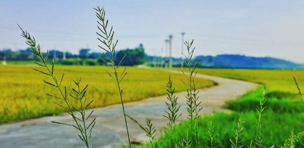 Những cánh đồng lúa chín hai bên đường dẫn vào Đường Lâm