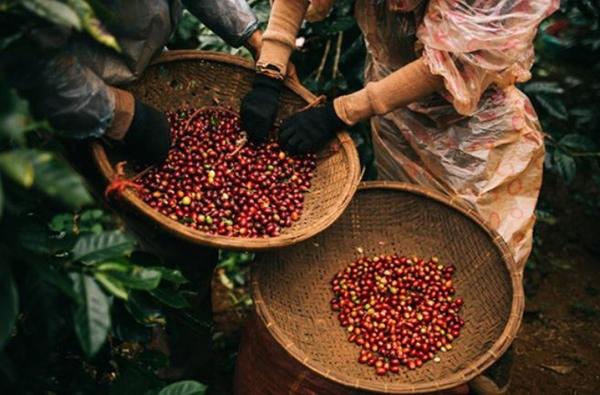 Giá tiêu, cà phê cùng tăng mạnh (Ảnh minh họa)