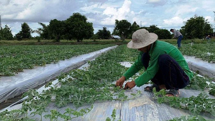 Nhiều doanh nghiệp nhập hạt giống rau, hạt giống dưa hấu... bị áp thuế 10%-15% (Ảnh: SGGP)