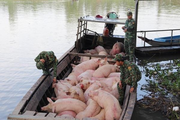 Cán bộ, chiến sĩ Đồn Biên phòng Phú Hữu kiểm tra đàn heo bị bắt giữ (Ảnh: Báo Biên Phòng)