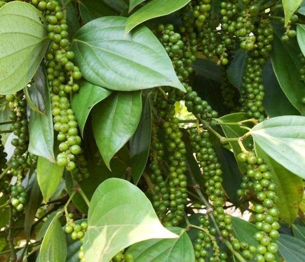 Người trồng tiêu tại Gia Lai, Đồng Nai và các địa phương khác tại Tây Nguyên và miền Nam mong giá tiêu tăng trở lại.