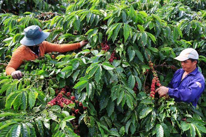 Khuyến công góp phần nâng cao năng suất và chất lượng cà phê