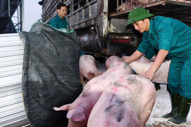 Lợn nhập khẩu chính ngạch từ Thái Lan phải chịu quá nhiều chi phí. Ảnh: Văn Giang